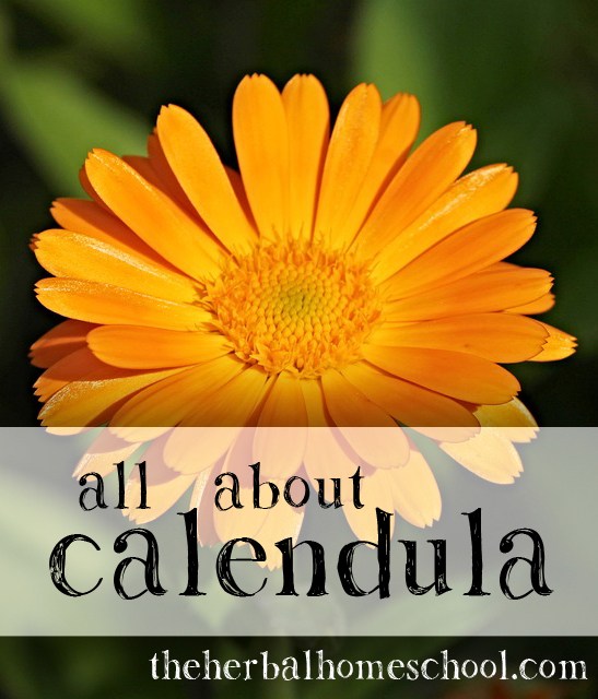 All About Calendula; doses, benefits, recipes gardening