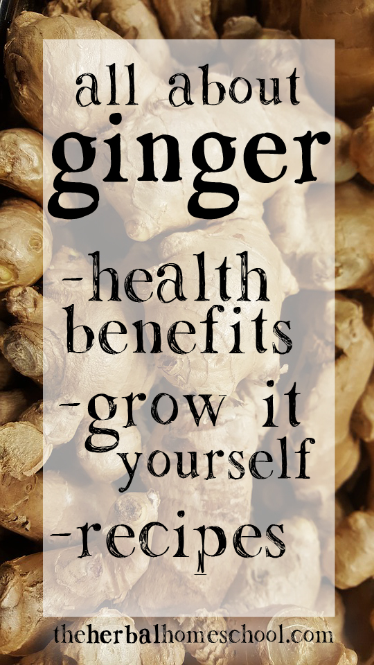 All about Ginger; the health benefits, doses, tips for growing ginger indoors, and recipes for tea and syrup